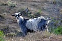 Picture Title - Goat