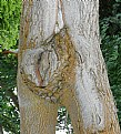Picture Title - Female Tree