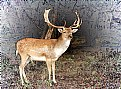 Picture Title - Fallow Deer Buck