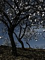 Picture Title - Three Almond Trees