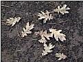 Picture Title - oak leaves