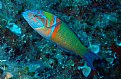 Picture Title - thalassoma pavo