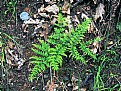 Picture Title - Spring Fern