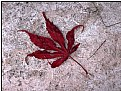 Picture Title - little red leaf