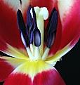 Picture Title - Tulip