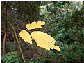 Picture Title - three yellow leaves
