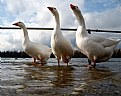 Picture Title - three geese