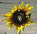 Picture Title - Swallowtail Sunflower