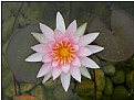 Picture Title - lotus flower