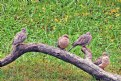 Picture Title - Four pearched Doves
