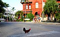 Picture Title - Key West Rooster Crossing the Road