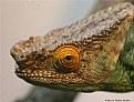 Picture Title - Chameleon. Portrait.