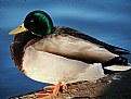 Picture Title - Male Mallard Duck