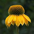 Picture Title - Yellow Echinacea