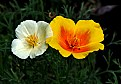 Picture Title - California poppies