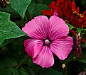 Picture Title - Mallow