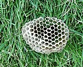 Picture Title - Paper Wasp Nest