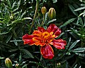 Picture Title - wet marigold