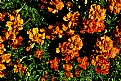 Picture Title - merry marigolds