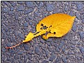 Picture Title - yellow feather-leaf