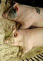 Picture Title - Pair of Pigs