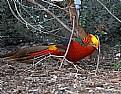 Picture Title - Male Pheasant