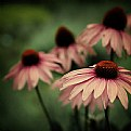 Picture Title - Echinacea