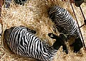 Picture Title - Zebra Sheep