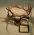 Picture Title - Carved Moose Antler