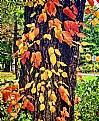 Picture Title - Autumn Poison Ivy