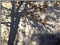 Picture Title - oak shadow-tree
