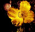 Picture Title - Bonfire Welsh Poppy