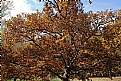 Picture Title - grand old oak