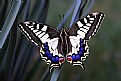 Picture Title -  Swallow tail just Out