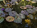 Picture Title - Autumn Lily Pads