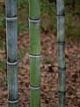 Picture Title -  Autumn Bambu