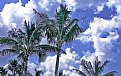 Picture Title - Palm Trees & Clouds