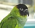 Picture Title - Black Headed Parrot
