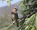 Picture Title - Waxwing