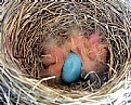 Picture Title - Robin Nest