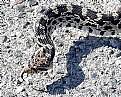 Picture Title - Gopher Snake