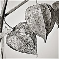 Picture Title - physalis