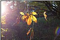 Picture Title - a sunny leaf
