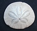 Picture Title - Sand Dollar