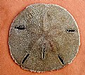 Picture Title - Keyhole Sand Dollar