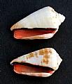 Picture Title - Conus sp