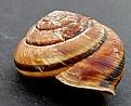Picture Title - Monadenia fidelis