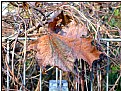 Picture Title - sunny brown winterleaf