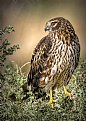 Picture Title - Northern Harrier