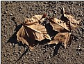 Picture Title - a pair of dry leaves